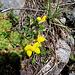 Qualcuno sa dirmi il nome di questi fiori?<br />Wer kann mir diese Blumen identifizieren?<br /><br />Grazie a [u mamiestho] ora lo so:<br /><br />Lotus corniculatus, Fabaceae.<br />Ginestrino comune.<br />Lotier corniculé<br />Gewoehnlicher Hornklee.