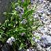 Myosotis alpestris o Myosotis sylvatica, Boraginaceae.<br />Non sono sicuro dell'identificazione.