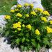Wer kann mir diese Blumen identifizieren?<br />Qualcuno sa dirmi che fiori sono?<br /><br />Danke [u mamiestho]<br /><br />Hugueninia tanacetifolia, Brassicaceae.<br />Hugueninia comune.<br />Hugueninie a feuilles de tanaisie.<br />Farnrauke.
