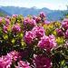 Alpen rosen.