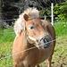 Pony bei der Sabathyhütte (Alle Fotos von Hans)