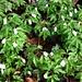 Der Frühling kommt: Buschwindröschen (Anemone nemorosa)