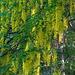 Goldregen am Alten Talweg vor  Oberems