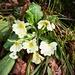 Stängellose Schlüsselblume (Primula vulgaris).