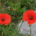 Red poppy (Klatschmohn, Papaver rhoeas)