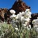 der Weisse Teide-Ginster: hübsch - und äusserst wohlriechend