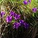 Viola calcarata (Langsporniges Stiefmütterchen)