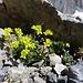 Saxifraga aizoides (Bewimperter Steinbrech)