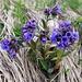 Anchusa officinalis (Gemeine Ochsenzunge)??