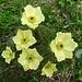 Pulsatilla alpina ssp apiifolia (Schwefel-Anemone)