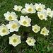Pulsatilla alpina ssp alpina
