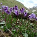 Soldanella alpina (Grosses Alpenglöckchen)