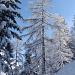 Mélèze dans l'hiver