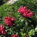 Alpenrosen blühen