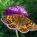 Schmetterling am Pfad