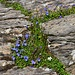 solche Blumenarrangements im Fels sieht man immer wieder