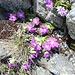 Pflanzen und Blumen auf dem Gotthard-Granit.