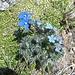 Enzian und Vergissmeinnicht auf dem Gotthard-Granit.