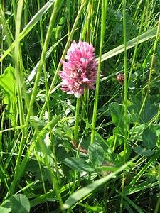 Traunsteinera globosa, Orchidaceae.<br /><br />Orchide dei pascoli, Orchidea globosa.<br />Orchis globuleux.<br />Kugelorchis.
