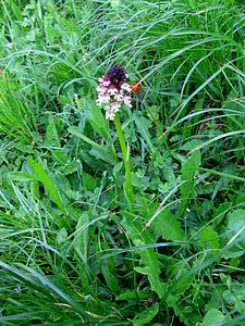 Orchis ustulata, Orchidaceae.<br /><br />Orchide bruciacchiata.<br />Orchis brulé.<br />Scwärzliches Knabenkraut.