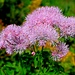 .........Grazie Giuliano per aver citato il nome di qs. fiore a me sconosciuto:Colombino(Thalictrum aquilegifolium).