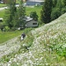Prato di Millefoglio (Achillea Millefolium)