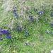 In der Südflanke des Piz Tomül hat es einige Enzianwiesen