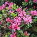 Blühende Alpenrosen sind immer wieder eine Augenweide