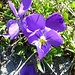 Flora nahe der Vegetationsgrenze: Langsporniges Stiefmütterchen (Viola calcarata)