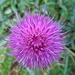 Ein markanter Frabtupfer, die Blüte einer Distel...