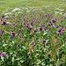 Blumen von St. Antönien