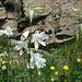 zahlreiche weisse Trichterlilien