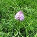 Zuerst meinte ich, es sei Schnittlauch: Kugel-Orchis (?, könnte auch eine etwas zu kurz geratene Knabenkraut-Blüte sein).