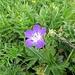 Wald-Storchenschnabel (Geranium sylvaticum)