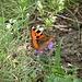 Kleiner Fuchs (Aglais urticae)