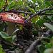 Im Fjäll wachsen viele Pilze. Dieser sieht aber eher giftig aus...