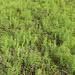 Kein Tannwald aus der Vogelperspektive sondern eine Art Gräser/Farne (?)