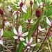 Eine andere hübsche Fjällpflanze, deren Name ich aber nicht weiss :-(