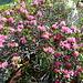 Alpenrosen im Blütenrausch