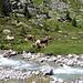 Die Kühe geniessen das Alpleben