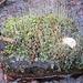 bizarre Moos oder Flechtenart auf Stein im Bach
