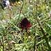 Nigritelle noirâtre... plus connue sous le nom d'Orchis Vanille