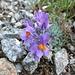 Blumen im Gletschervorfeld.