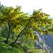 Splendido maggiociondolo in piena fioritura  Il maggiociondolo (Laburnum anagyroides Medik., 1787) è un piccolo albero caducifoglio (alto dai 4 ai 6 metri), appartenente alla famiglia delle Fabaceae I fiori sono di colore giallo oro, molto profumati, sono raggruppati in lunghi racemi penduli (fino a 25 cm) e fioriscono tipicamente in maggio. (Wikipedia)