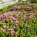 Il Rododendro ferrugineum L. (Rosa delle alpi), si riconosce dai caratteristici fiori rosa (sul fucsia per la verità). Il colore dei petali unito alle sue peculiari caratteristiche ne fanno una pianta assolutamente dissimile da tutte le altre piante conosciute.<br />(Wikipedia)