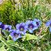 La Genzianella o Genziana di Koch (Gentiana acaulis L., 1753) è una pianta appartenente al genere Gentiana della famiglia Gentianaceae, È nativa dell'Europa centrale e meridionale, dalla Spagna orientale ai Balcani. Cresce nelle regioni montuose, quali le Alpi, le Cévennes e i Pirenei, ad altitudini comprese tra 800 e 3.000 m.<br />Cresce su terreni acidi e predilige le esposizioni in pieno sole.<br />(Wikipedia)