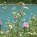 Blütenpracht an der Ill