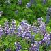 Blühende Alaska-Lupinen (Lupinus nootkatensis) bei Vík. Die aus Kanada und Alaska stammende Pflanze wurde in Island angesiedelt da sie unbewachsenen Lavaboden besiedelt. Dabei bindet sie Stickstoff aus der Luft und macht dadurch den Boden nach dem Absterben fruchtbar. Nach einigen Jahren mit Lupinienbewuchs können auf dem nun fruchtbaren Boden weitere Arten sich ansiedeln oder gepflanzt werden.