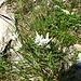 Stella Alpina (Leontopodium Alpinumm )