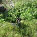 Stubaier Tierwelt: Ein neugieriges junges Murmeltier schaut bei der Zwieselbachalm aus dem Bau.